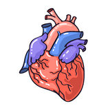 Hand drawing sketch anatomical heart.Cartoon style vector illustration Royalty Free Stock Images