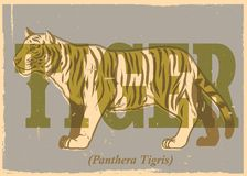Hand drawing style of vintage tiger poster Stock Image