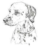 Hand drawing vector portrait of dalmatian Royalty Free Stock Photo