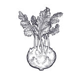 Hand drawing of vegetable Cabbage kohlrabi. Royalty Free Stock Photos