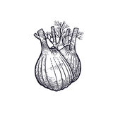 Hand drawing of vegetable Fennel. Fennel. Hand drawing of vegetable. Vector art illustration. Isolated image of black ink on white background. Vintage engraving Stock Photography