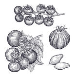 Hand drawing of vegetable Tomatoes. Tomatoes set. Hand drawing of vegetable. Vector art illustration. Isolated image of black ink on white background. Vintage Stock Photos
