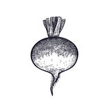 Hand drawing of vegetable Turnip. Royalty Free Stock Photography