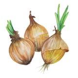 Hand-drawn απεικόνιση κρεμμυδιών Στοκ Εικόνες
