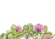 Hand-drawn απεικόνιση λουλουδιών κόκκινου τριφυλλιού watercolor Χρωματισμένη βοτανική three-leaved χλόη λιβαδιών, που απομονώνετα Στοκ Φωτογραφίες
