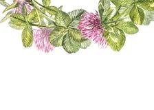 Hand-drawn απεικόνιση λουλουδιών κόκκινου τριφυλλιού watercolor Χρωματισμένη βοτανική three-leaved χλόη λιβαδιών, που απομονώνετα Στοκ Εικόνες