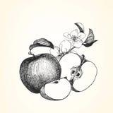 Hand-drawn απεικόνιση της Apple Στοκ εικόνες με δικαίωμα ελεύθερης χρήσης