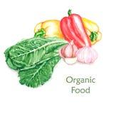 Hand-drawn απεικόνιση τροφίμων watercolor των οργανικών προϊόντων Στοκ εικόνα με δικαίωμα ελεύθερης χρήσης