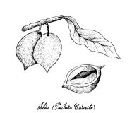 Hand Drawn of Abiu Fruits on White Background Stock Image