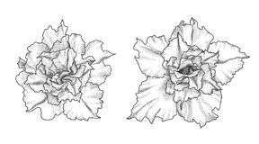 Hand drawn adenium flowers Stock Image