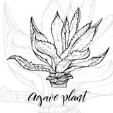 Hand drawn agave plant. Hand drawn agave, main tequila ingredient, sketch style vector illustration isolated on white background. Wild floral exotic tropical Stock Image