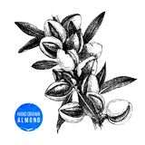 Hand drawn almond branch with leaves and nuts. Hand drawn black and white almond branch with leaves and nuts. Vector illustration Stock Images
