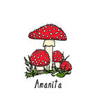 Hand drawn amanita mushrooms. Vector illustration of hand drawn poisonous fungus Amanita. Ink drawing, graphic style. Beautiful design elements Stock Photography