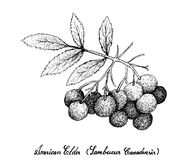 Hand Drawn of American Elder Fruits on White Background Royalty Free Stock Photography