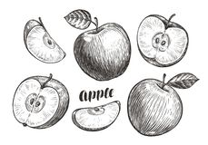 Hand-drawn apples and slices, sketch. Fruit concept. Vintage vector illustration. Isolated on white background vector illustration