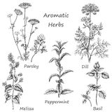 Hand drawn aromatic herbs. Royalty Free Stock Images