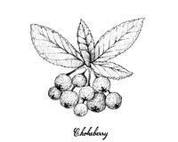Hand Drawn of Aronia or Chokecherries Royalty Free Stock Images