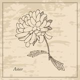 Hand drawn aster. Floral vintage card. Stock Images