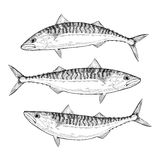 Hand drawn Atlantic Mackerel Royalty Free Stock Images