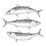 Hand drawn Atlantic Mackerel Royalty Free Stock Images