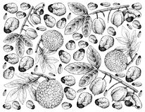 Hand Drawn Background of Ackee Fruits and Breadfruit. Tropical Fruits, Illustration Wallpaper Background of Hand Drawn Sketch of Ackee or Blighia Sapida and Royalty Free Stock Photo