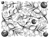 Hand Drawn Background of Star Apple and Elaeocarpus Hygrophilus Fruits. Tropical Fruit, Illustration Wallpaper Background Hand Drawn Sketch of Star Apple or Royalty Free Stock Photography