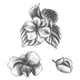 Hand drawn balsams at different stages of growth Royalty Free Stock Image