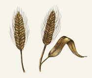 Hand-drawn barley cereal grain illustration Royalty Free Stock Photo
