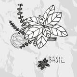 Hand drawn basil Royalty Free Stock Image