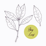 Hand drawn bay leaf and branch with leves  Royalty Free Stock Photos