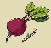Hand drawn beet. Hand drawn fresh color beet on beige Royalty Free Stock Photos