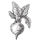 Hand drawn of beet. Vector black hand drawn illustration of beet Stock Image