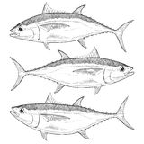 Hand Drawn Bigeye Tuna Royalty Free Stock Images