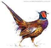 Bird pheasant watercolor illustration. Royalty Free Stock Images