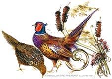 Bird pheasant watercolor illustration. Stock Image
