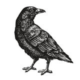 Hand-drawn black crow. Raven, bird sketch, vector illustration. Hand-drawn black crow. Bird sketch, vector illustration isolated on white background Royalty Free Stock Image