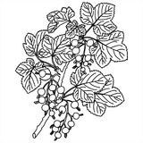 black. Hand drawn black currant stems in vector Stock Image