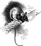 Hand Drawn Black Rat Stock Photography