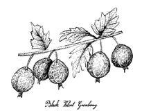Hand Drawn of Black Velvet Gooseberry on White Background Stock Photography
