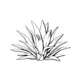 Hand drawn blue agave, main tequila ingredient Royalty Free Stock Photography