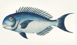 Hand drawn of Blue coryphaena fish Stock Photos