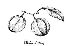 Hand Drawn of Blushwood Berries on White Background Royalty Free Stock Images