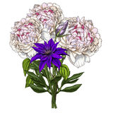 Hand drawn bouquet of peony and wild field flower isolated on white background. Botanical  illustration. Hand drawn bouquet of peony and wild field flower Royalty Free Stock Photography