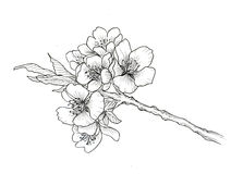 Hand drawn branch of cherry blossom Royalty Free Stock Image