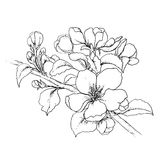 Hand drawn branch of cherry blossom Stock Image