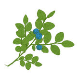 Hand drawn branch of colorful vector blueberry Stock Image