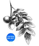 Hand drawn branch of walnut. Vector illustration Royalty Free Stock Photo