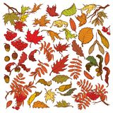 Hand drawn branches and leaves of temperate forest trees. Autumn colored floral set isolated on white background. Maple. Rowanberry, oak foliage, acorns and Royalty Free Stock Images