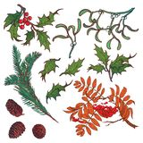 Hand drawn branches and leaves of temperate forest trees. Winter colored floral set isolated on white background. Mistletoe, rowanberry, holly, Fir tree, cones Royalty Free Stock Images