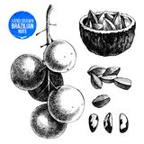 Hand drawn brazil nuts illustration. Hand drawn black and white brazil nuts set. Vector illustration Stock Photo